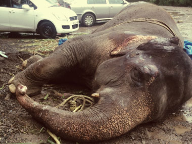 Bijlee the elephant lying helpless in Mulund.