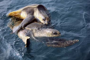 Odisha: Olive Ridley turtles lay over 25,000 eggs