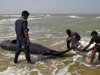 Fishermen try to help a whale that washed ashore in Manapad in Tamil Nadu's Tuticorin district, some 600 km south of Bangalore, on Tuesday. AFP